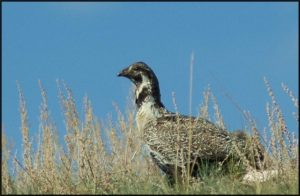 SAGE GROUSE1