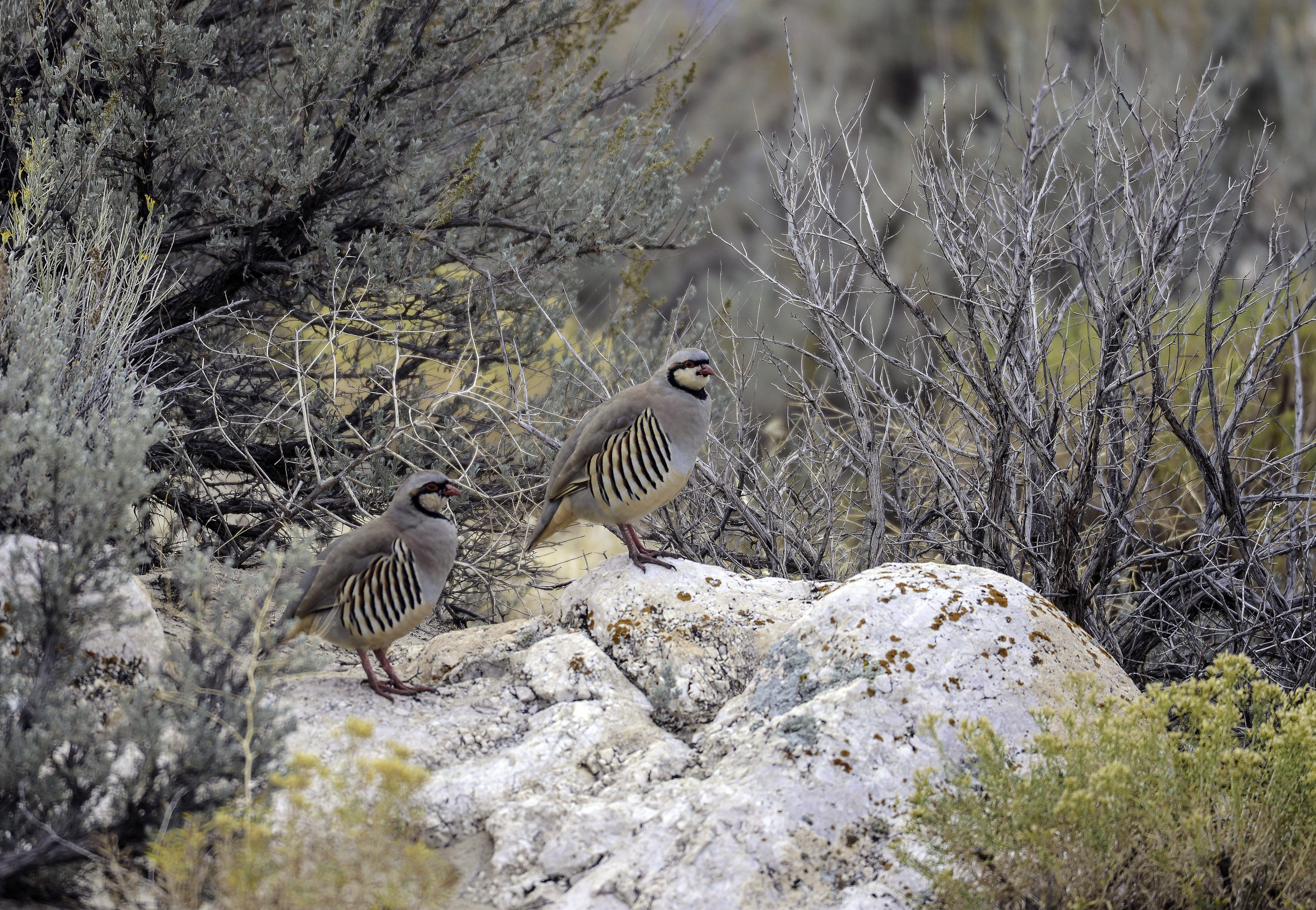 The number of chukar partridge has skyrocketed in many places in Utah this year. The general hunt starts Sept. 26.